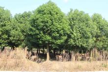 盆景养护:红豆杉应该如何养才能养的好?
