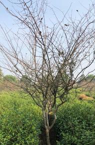垂丝海棠图片