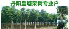 丹阳皇塘栾树专业户图片