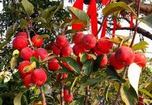 通常情况下栽植果树一般在春节后,秋季移栽果树更好有哪些移栽技术要点?