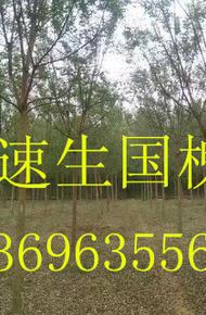 金枝国槐图片