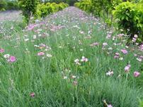 植物配置中占得比例最大的就是地被植物,景观地被植物的选择方式
