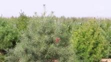 今年雄安将造林20万亩,预计需要各类苗木2500万株,具体用什么树种?用多少?