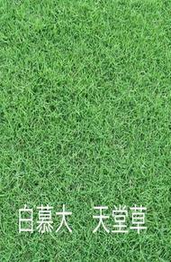百慕大+黑麦草图片