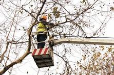冬季是园林树木重要的修剪时期,园林树木冬季修剪要点之乔木篇