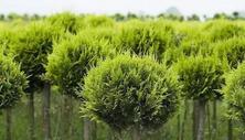 """?春季南方幾個苗木產區的苗木行情""""都挺好""""?一起來看看是怎么個好法"""