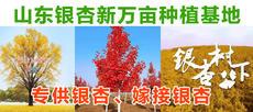 山东银杏新万亩种植基地图片