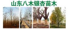 山东八木银杏苗木图片