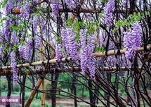 紫藤火了,不紧不慢,朱绍远是怎么做紫藤的?要点是产品化、抠细节、造生态