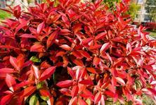 植物配置由单一的绿色向彩叶转变,20种 · 彩叶树种观赏特征和园林用途大全