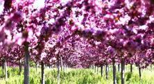 海棠形势分析和苗木管理要点!近几年北美海棠在国内大范围推广应用,效果不错