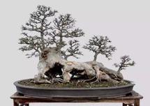 榆树盆景夏季管理要点