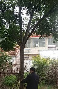黃山欒樹圖片