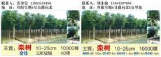 小俊栾树专业种植户图片
