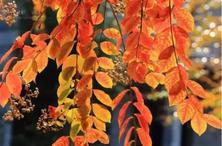 植物造景:何谓秋色叶植物?秋色叶景观颇为壮丽,秋色叶常见植物种类集锦