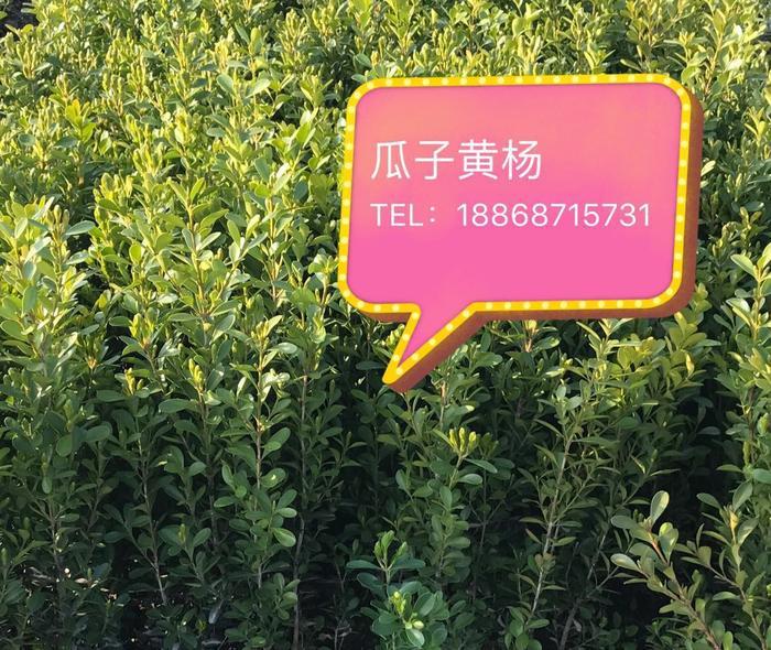 瓜子黄杨图片