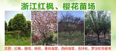 浙江紅楓、櫻花苗場圖片