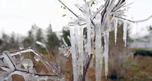 全国多地大幅降温,苗木出现冻害如何是好?一旦冻伤,又该如何挽救呢?