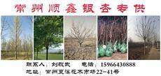 顺鑫银杏专供图片