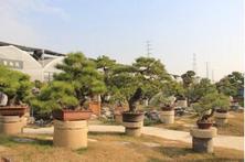 夏溪花木市场盆景触电破界,市场盆景村触电,带来的新消费