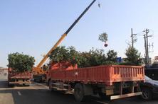 疫情之下,苗木行业同样受到了影响,夏溪花木市场苗木行情表现如何?
