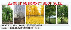 山东郯城银杏产业开发区图片