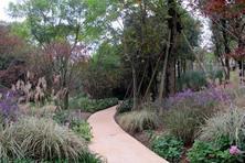墨西哥鼠尾草为唇形科鼠尾草属,多年生草本植物,造景浪漫高手