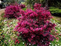 彩色叶片类树种即园林行业中的彩叶树种,赤橙黄绿青蓝紫,细数常见的彩叶树