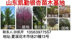 山东凯勤银杏苗木基地图片