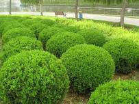 随着市场的全面回暖,2019年市场要求变高,那么灌木类苗木如何应对?
