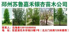 邳州苏鲁嘉禾银杏苗木基地图片
