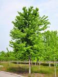 4月份进入生长旺盛期,美国红枫、欧洲小叶椴和科罗拉多蓝杉四月养护流程