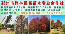 邳州市尚林银杏苗木种植专业合作社图片