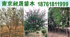 南京昶晟苗木18761811999图片