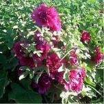 """宿根花卉是指能够""""冬眠""""的花卉,便于繁殖、管理简便,了解常见宿根花卉品种习性大全分析"""