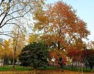 这四类彩叶树种,或将引领市场?尤其是乡土彩叶乔木、优质彩叶乔木等,市场前景十分广阔。