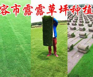 句容市露露草坪种植场