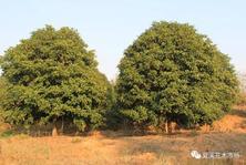苗木行情:近期乔灌木价格行情,供参考