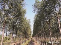 聚焦:育苗断档、品种单一、用量大,柳树品种更新迫在眉睫