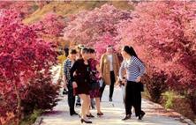 龚建平推出彩色乔木红花檵木经典之作,红林花海项目,游客络绎不绝