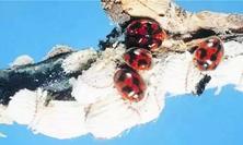 当天敌昆虫越来越多,害虫不够时,这些天敌会不会成为另一种害虫?病虫害防治新思路