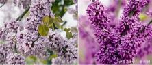 谈紫荆族植物的名称乱象问题:紫荆属共有9个种,中国产5种