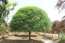 金秋时节,养这6种树,花儿飘香,果子满园
