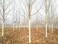 苗木行业,基础打不好,苗木就长不好,效益自然不会好,如何打好基础?