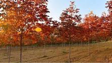 彩色苗木新品种的大量应用,争议也不断增多,如何正确引进彩叶树种