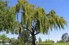 景观树知识大全,苗木人果断收藏!