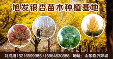 旭发银杏苗木种植基地图片
