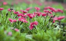 花毯草坪石竹适应性强、耐旱、耐热、抗寒、耐贫瘠,可轻松营造缀花草坪