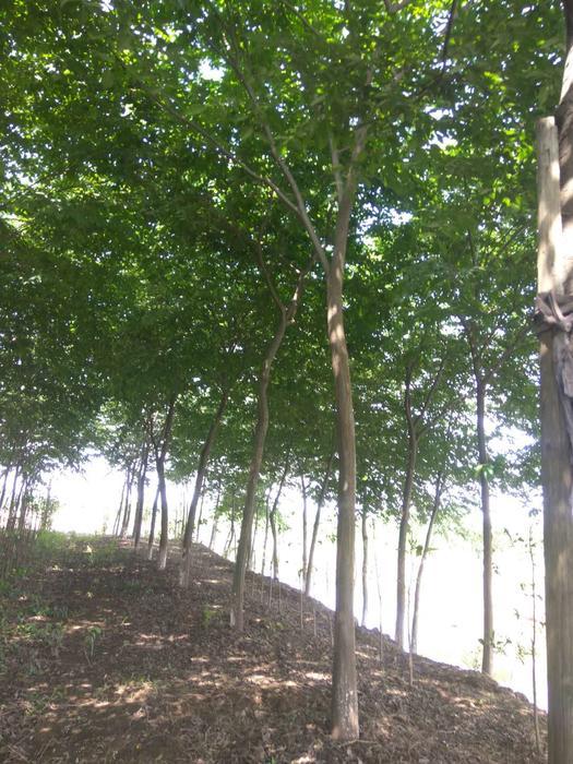红榉树图片