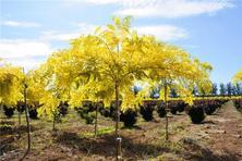 如何抓住彩葉植物市場機遇?如何科學推進彩葉植物市場化進程?選擇適合的樹種或品種?